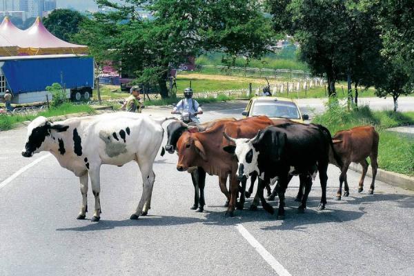 En accidente de tránsito muere promotora de salud del centro poblado de Caranal. Se estrelló contra un semoviente.
