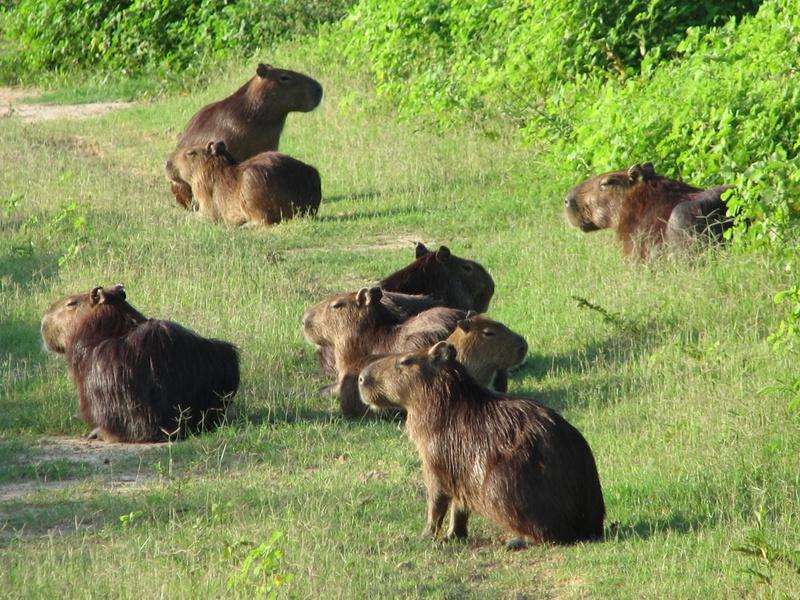 En sabanas de Cravo Norte se están muriendo de sed los chiguires,  babillas y ganado, denunció ASOJUNTAS.