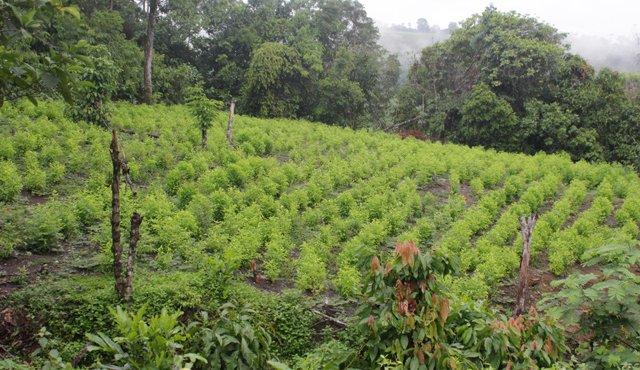Dura denuncia contra el gobierno nacional. Lo acusan de incumplirles a  campesinos que trabajaron en sustitución de cultivos ilícitos.