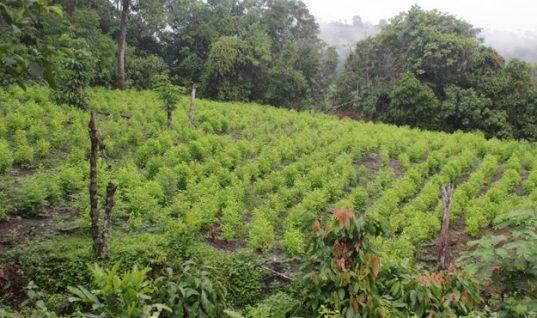Campesinos reclaman sustitución gradual de cultivos ilícitos en Arauquita