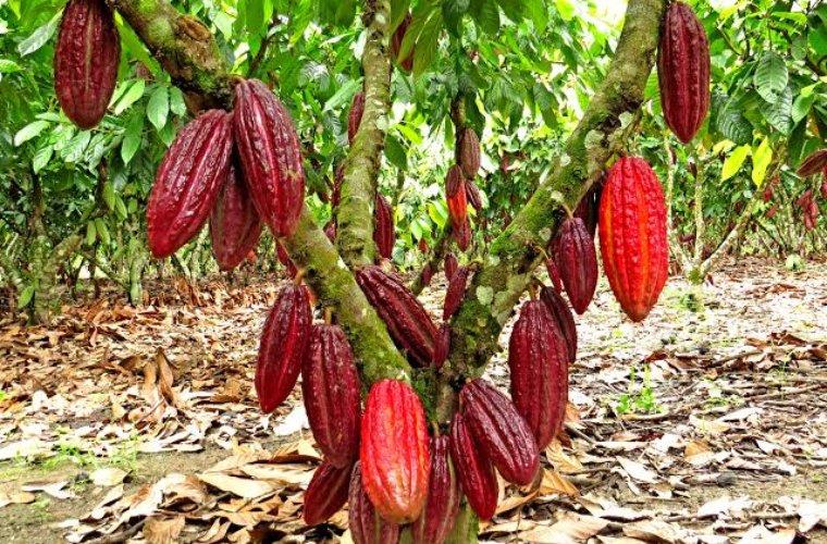 En Todos los Santos familias dan ejemplo de emprendimiento. Están transformando cacao y produciendo chocolate orgánico.