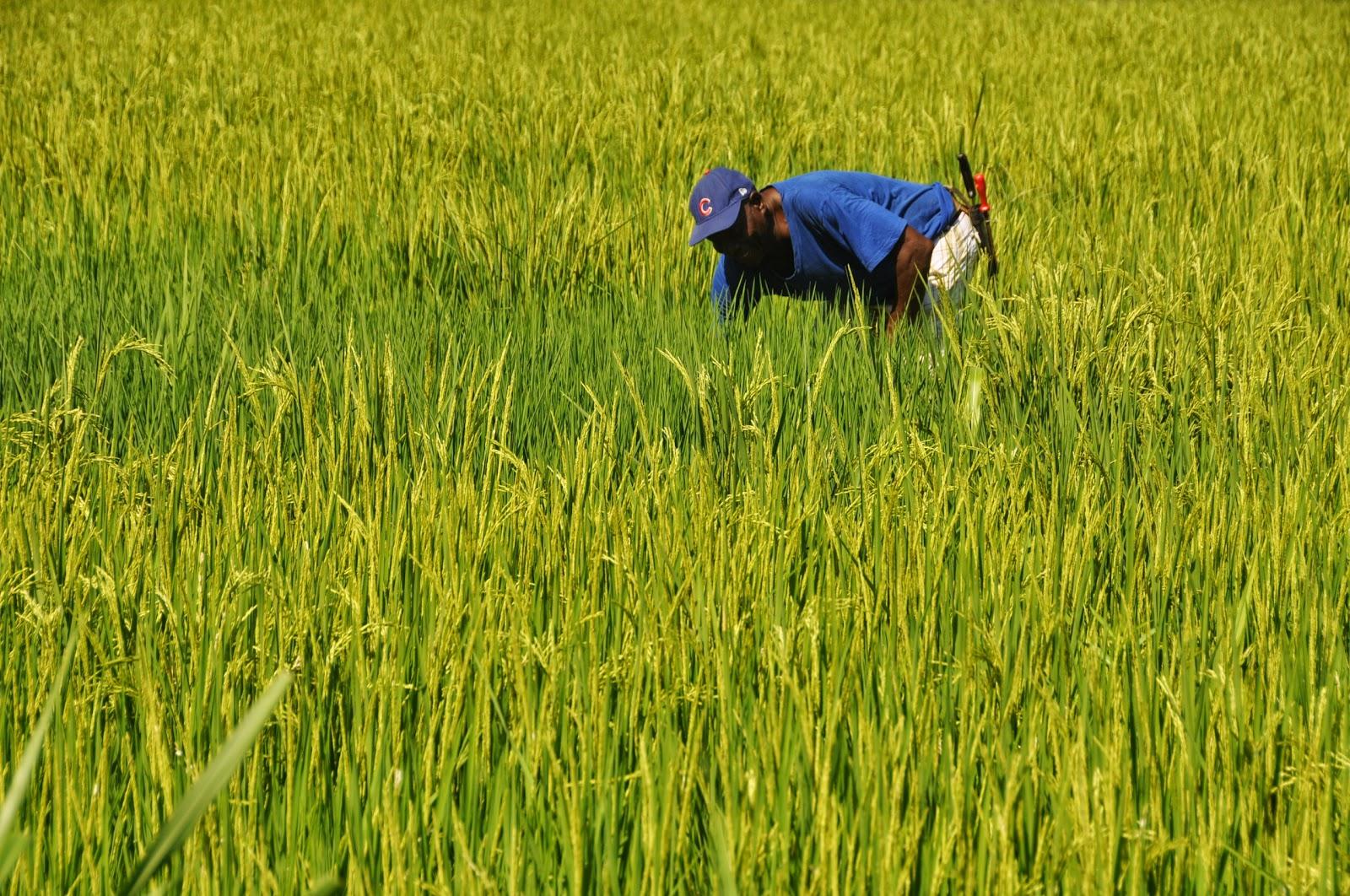 Arroceros reclaman seguridad e industrialización del grano en el Departamento