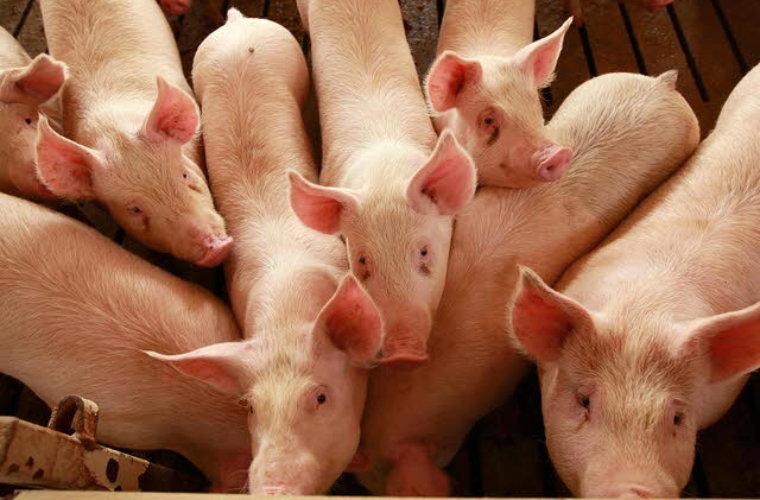 En quiebra se declararon porcicultores del Departamento, producción se  redujo en un 65%. La falta de una planta de sacrificio los llevo al fracaso.