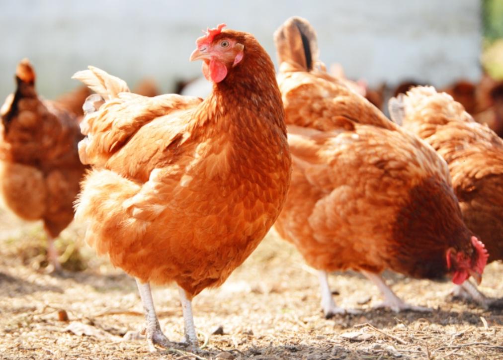 Comunidades afrodescendientes trabajan en proyecto avícola para todo el  Departamento