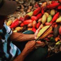 Desde Saravena fueron exportadas por COOPCACAO a Suiza 25 toneladas de cacao araucano. Se abren mercados internacionales.