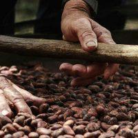 En el Departamento van a ser sembradas 460 nuevas hectáreas de cacao. Se beneficiarán productores de Saravena, Tame, Arauquita y Fortul.