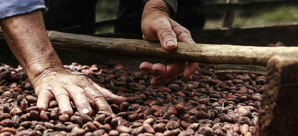 Cacao araucano dentro de los mejores a nivel nacional