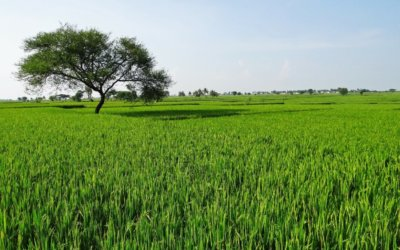 En un 34% se redujo el cultivo de arroz en el departamento de Arauca