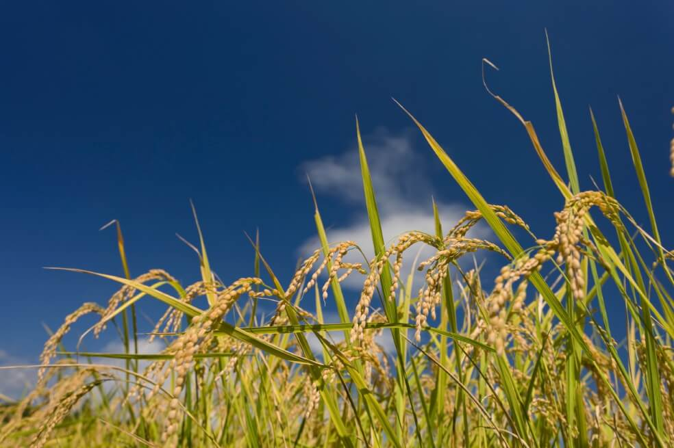 Siembra de arroz aumentará en 2019. De 7.000 mil hectáreas cultivadas en  2018 se pasará a 12.000. Se van a generar 24 mil empleos.