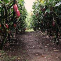 A España e Inglaterra serán exportadas 12.5 toneladas de cacao araucano