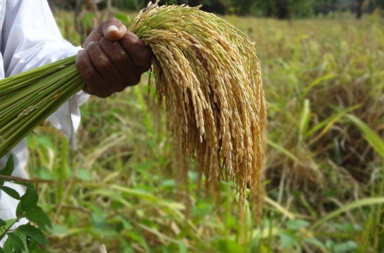 CEPROAR espera ayudar a sembrar 450 hectáreas de arroz. Iniciativa  beneficiará a 45 productores.