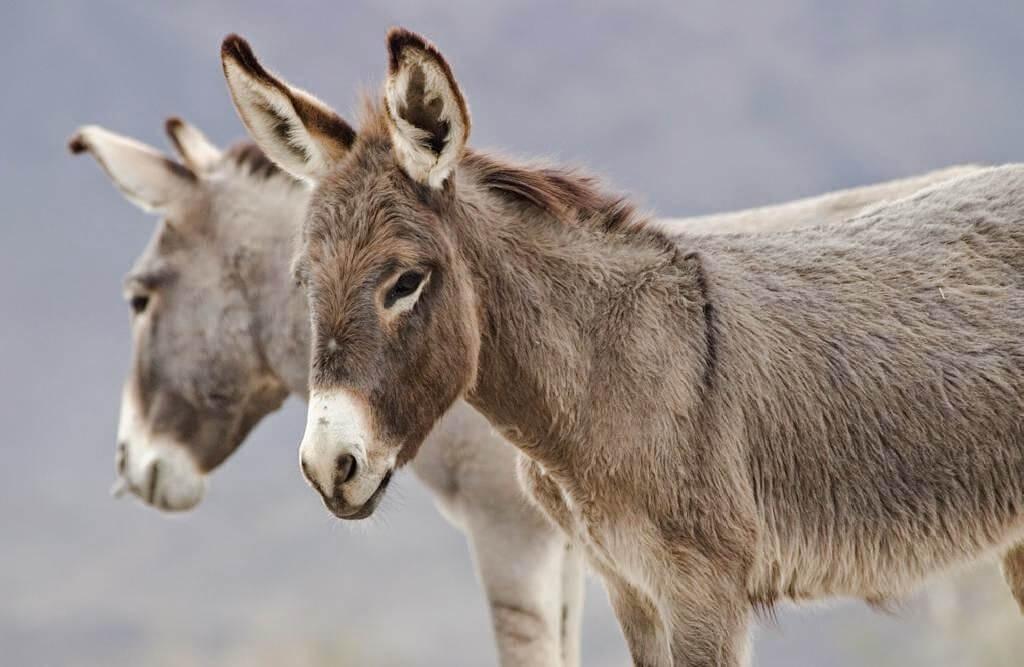 En Arauca estarían vendiendo carne de burro como si fuera de res denunció el Alcalde de la capital