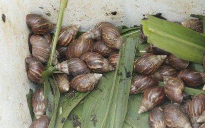 Nuevamente los caracoles africanos se toman lotes y casas en el municipio de Arauca