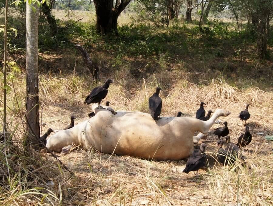 """Pérdidas económicas reportan ganaderos de Arauca por verano y sequias. """"Animales se están muriendo de hambre y sed"""", dijo presidenta del Comité."""