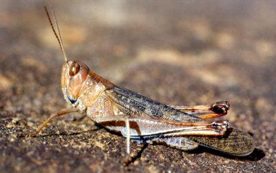 El ICA inicio control y erradicación de la plaga de  langosta llanera que apareció en zona rural de Cravo Norte