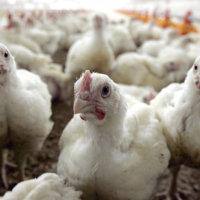 Planta avícola de Arauquita en la mira de la Contraloría regional