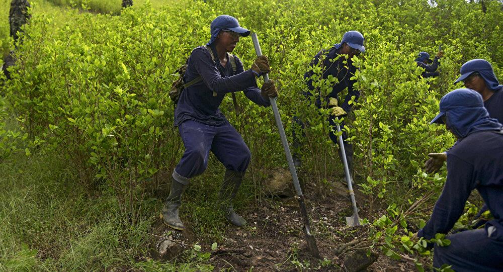 ONU deberá certificar que Arauca es el primer Departamento libre de coca