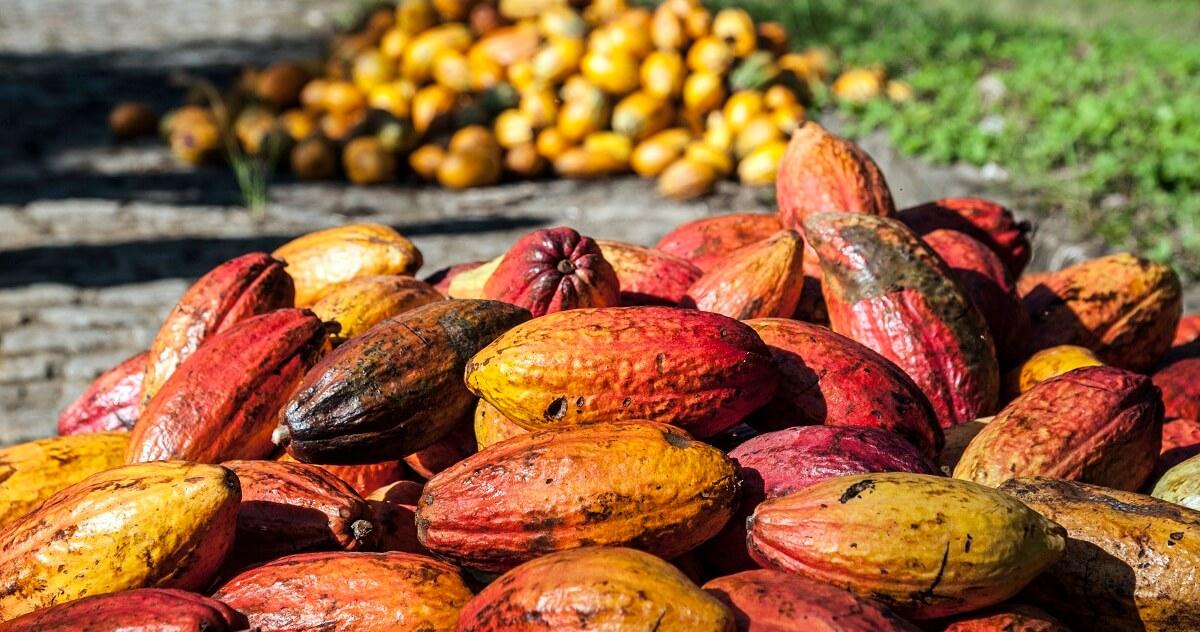 A Países Bajos serán exportadas 25 toneladas de cacao araucano. Cuatro muestras del grano representarán a Colombia en Paris.