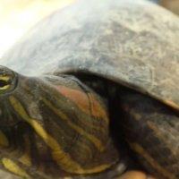 Quince tortugas de la especie Hicotea en Arauca fueron incautadas por la Policía