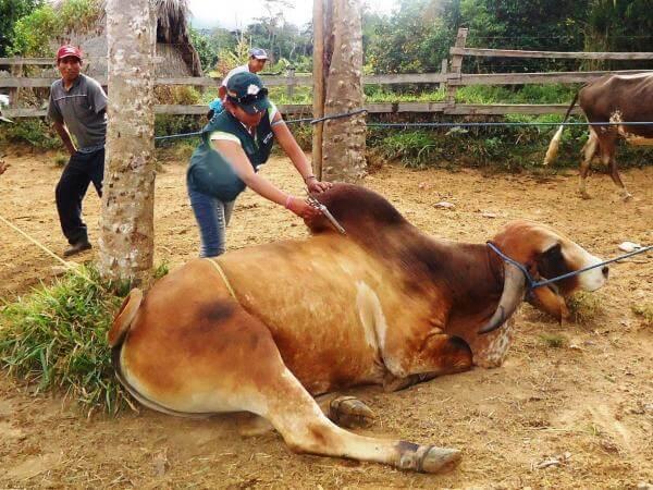 """""""Si se quiere erradicar la fiebre aftosa en Arauca ganaderos deben vacunar todo su ganado"""": gerente Regional del ICA."""