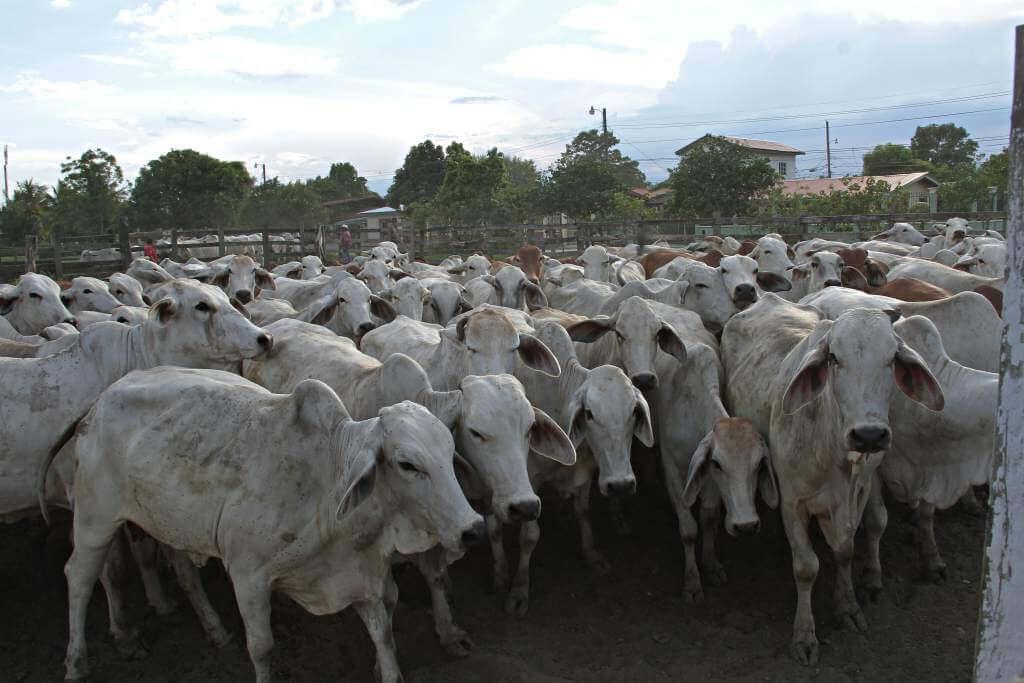 Policía recuperó 40 cabezas de ganado hurtadas en la vereda Mategallina.