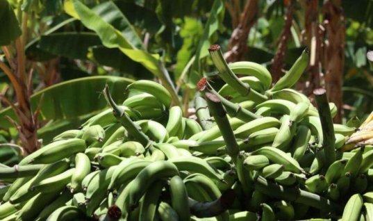 Gobernación destinó 8.150 millones de pesos para la terminación de la planta procesadora de plátano