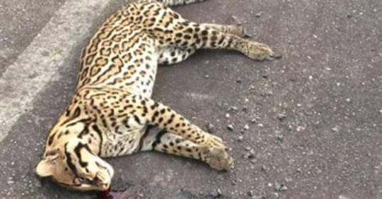 Continúan las muertes de fauna silvestre en las vías del Departamento. En Saravena fue arrollado por un vehículo un tigrillo.