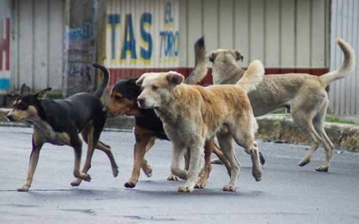 Mujer araucana no pierde su determinación para salvar perros  abandonados o en condición de calle. Carece de recursos.