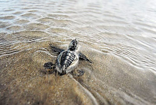 En Cravo Norte liberaron 1200 tortugas bebé de la especie Charapa. Los  reptiles se encuentran en vía de extinción.