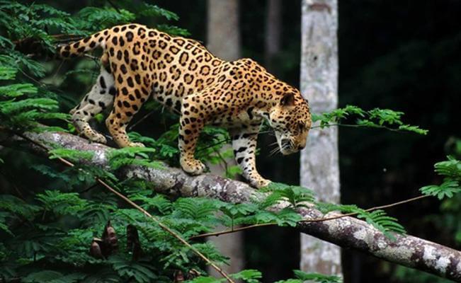 Doce felinos han sido sacrificados por campesinos en lo corrido del año en el Departamento. Pumas, Tigrillos y Jaguares los más atacados.
