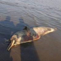 Dos delfines aparecieron muertos en aguas del rio Arauca. Mamíferos estarían siendo arponeados por pescadores o capturados en mallas.