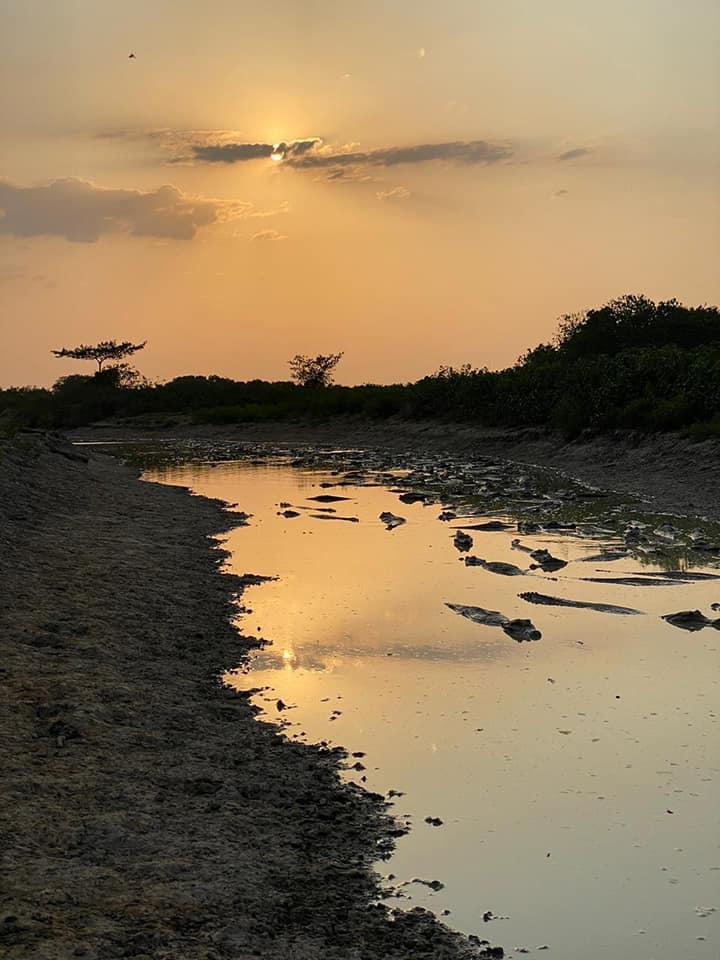 A salvo reptiles y roedores de Matal de Flor Amarillo mientras llegan las lluvias. En las sabanas de Arauca se calma la sed a miles de babillas y chigüiros.