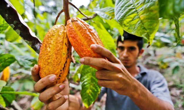 POR BUENAS PRÁCTICAS AGRÍCOLAS el Cacao y plátano de Arauca con calidad fitosanitaria certificada por el ICA
