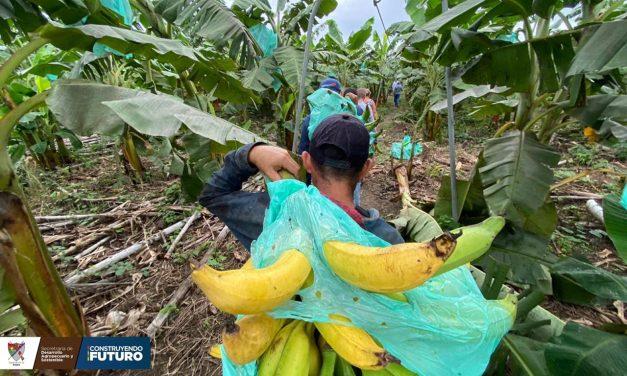 Siete toneladas de plátano a la semana se comercializan desde Arauquita