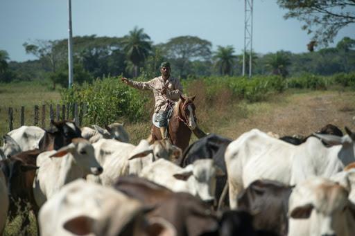 Recuperan 1.000 cabezas de ganado hurtadas el sábado en Puerto Rondón