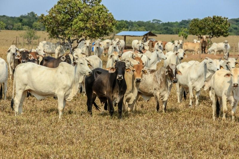 ¡Vuelve y juega! Delincuentes hurtaron una vaca cebú de una finca en Arauca