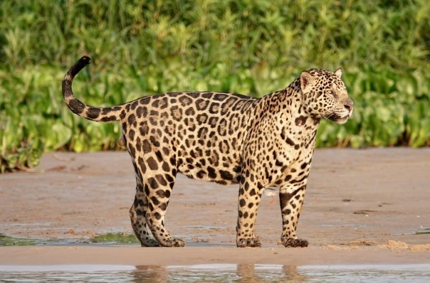 Jaguar que mató a una niña en Cubará sigue suelto